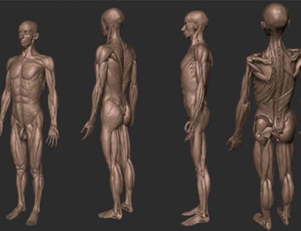 Modelo de anatomía gratuito para ZBrush